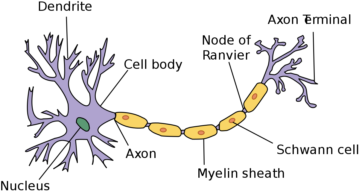 The anatomy of a neuron in the brain
